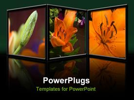 PowerPoint template displaying depiction of an Asiatic Tiger Lily from bud to full bloom in the background.