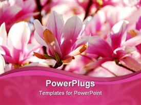 PowerPoint template displaying close up of pink and white magnolia flowers with pink wave border