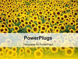 PowerPoint template displaying beautiful field of sunflower themed yellow and green