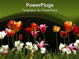 Group of multicolored Tulips in a public Garden powerpoint template