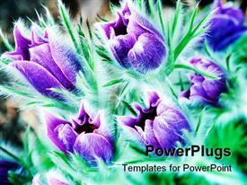 Pasque flowers, each the size of my thumb template for powerpoint