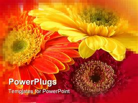 PowerPoint template displaying three colorful Gerber daisies in isolated white