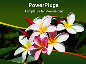 Pink and white flowers of a frangipani bush in a garden in south Africa powerpoint design layout