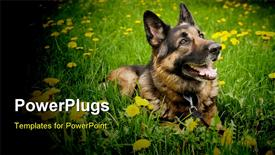 PowerPoint template displaying german Shepherd on the meadow with dandelions in the background.