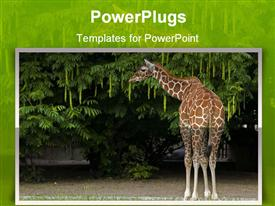 PowerPoint template displaying giraffe eating leaves from a tree