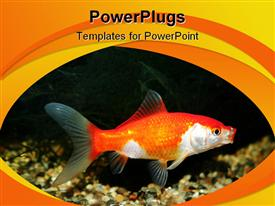 PowerPoint template displaying close shot of Goldfish in tank with copy space