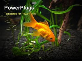 PowerPoint template displaying gold fish in aquarium on a white background.
