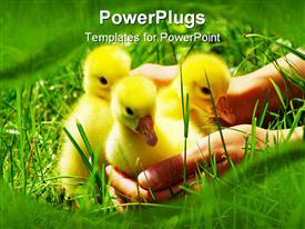 Yellow fluffy gosling in the hand powerpoint design layout