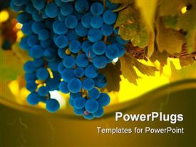 Ripe blue grape bunch very shallow focus presentation background