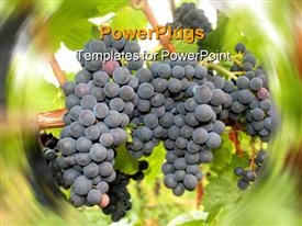 Ripening grape clusters on the vine powerpoint theme