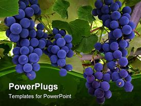 PowerPoint template displaying a close up view of blue grapes on a tree
