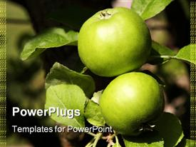 Two green apples growing on the tree, Devon England UK powerpoint design layout