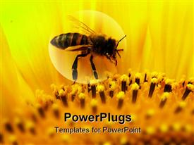 PowerPoint template displaying honeybee sitting on a sunflower zoomed in