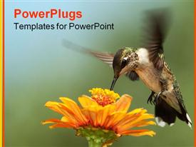 Black-chinned Hummingbird in-flight as it nectars at zinnia flower template for powerpoint