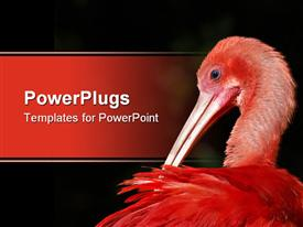 PowerPoint template displaying scarlet ibis preening and cleaning in South Africa in the background.