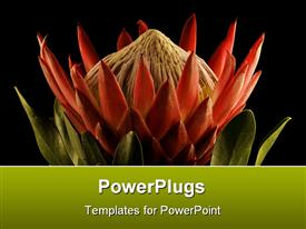 King Protea Close-up Side View Isolated Black Background template for powerpoint