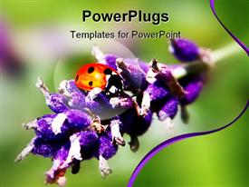 Macro of a ladybird on lavender in summer template for powerpoint