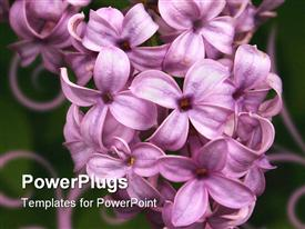 PowerPoint template displaying lilacs