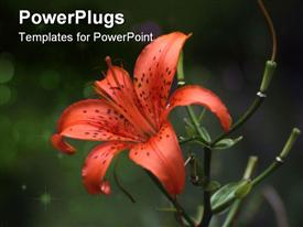 PowerPoint template displaying orange Tiger Lily - soft, should be used at smaller sizes in the background.