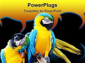 Blue and yellow Macaw parrot rubbing its head and wrapping its wing around another powerpoint theme