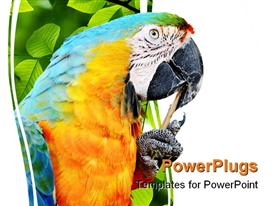 PowerPoint template displaying close-up portrait of a blue and yellow Macaw cleaning its beak with a stick in the background.