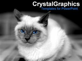 PowerPoint template displaying white colored cat with black ears and piercing blue eyes on black background