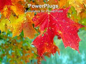 PowerPoint template displaying fall maple leaves in color