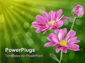 PowerPoint template displaying pink daises