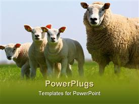 PowerPoint template displaying mother sheep and its three lambs in a field