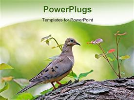 Mourning dove perched on a tree branch powerpoint template