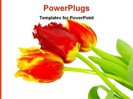 PowerPoint template displaying detailed close up of red and yellow tulips on plain white background