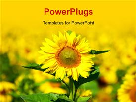 PowerPoint template displaying close-up of sunflower in beautiful field of sunflower