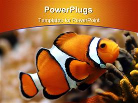 Clown fish, grainy at higher resolutions powerpoint template