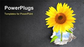 PowerPoint template displaying new life, Sunflower in hole