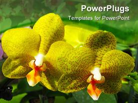 PowerPoint template displaying site of two blooming yellow orchids side by side
