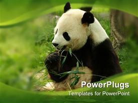 PowerPoint template displaying black and white giant panda eating green bamboo with green wave border