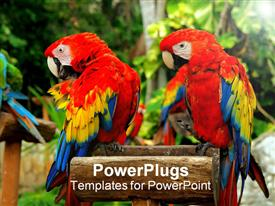 Couple of red parrots in a perch powerpoint template