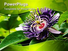 PowerPoint template displaying deep purple passion fruit flower with bright green leaves