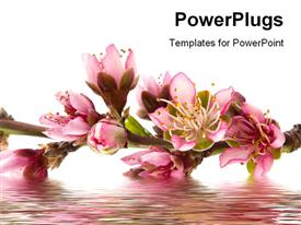 PowerPoint template displaying peach blossom in spring
