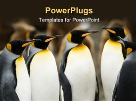 Group of King Penguins huddle for a meeting powerpoint design layout