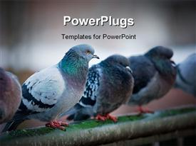 PowerPoint template displaying flock of urban pigeons on bridge railings
