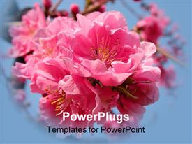 PowerPoint template displaying beautiful pink cherry flowers inflorescence