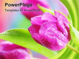 Spring tulip in spring garden template for powerpoint
