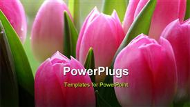 Lots of pink tulips - a close-up presentation background