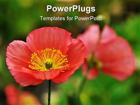 Red Iceland poppy flowers naturalized in garden powerpoint template