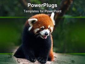 PowerPoint template displaying black and brown furred panda panting