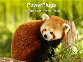 PowerPoint template displaying close up of Red Panda eating bamboo in green field