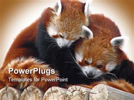 Red pandas cuddling in tree in winter presentation background