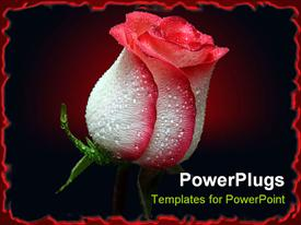 PowerPoint template displaying red and white rosebud with black background and red border