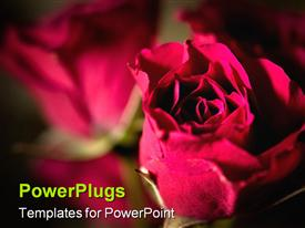Macro image of mini roses with shallow Depth of Field template for powerpoint